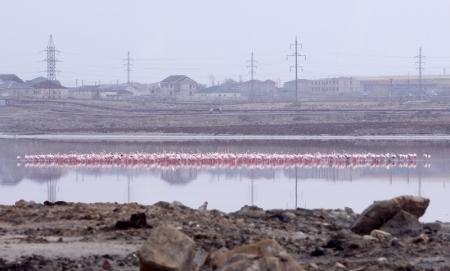 Стая розовых фламинго прилетела в Актау
