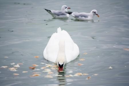 В Актау прилетели лебеди
