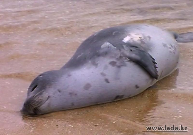 Омар Сутбаев: «Судоходство является причиной массовой гибели тюленей на Каспии в 2012 году»