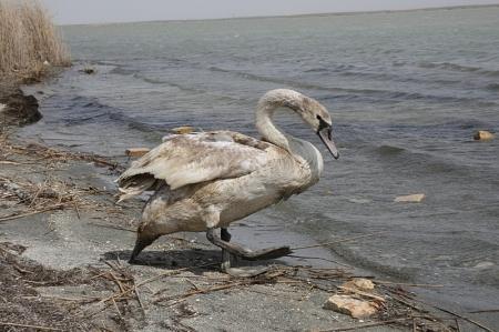Жители Актау спасли лебедя