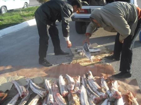 За десять дней операции «Бекире-2012» изъято более тысячи килограммов рыбы