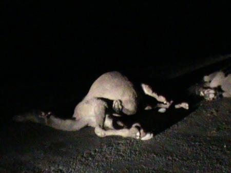 В Мангистау в результате наезда на верблюда погиб двадцатилетний пассажир автомашины «Toyota Camry»