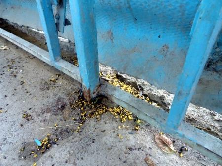 В Актау из-за нашествия насекомых гибнут карагачи