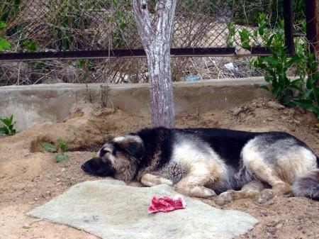 В Актау четырем собакам, которых вырастили горожане, грозит отстрел
