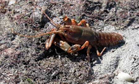 Лов раков в Мангистауской области запрещен до конца сентября