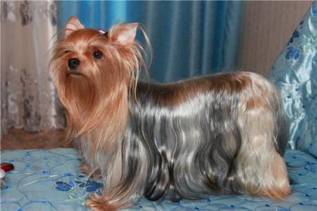 Потерялась собака породы йоркширский терьер