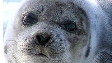 На Каспии зафиксирована массовая гибель тюленей. Техногенная катастрофа или браконьерство?