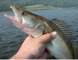 В Восточном Казахстане умудрились «выловить» треть мирового улова рыбы