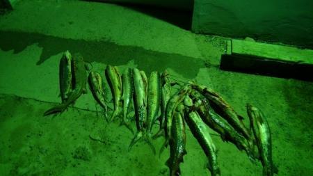 В Мангистауской области у браконьеров изъяли 75 килограммов рыб осетровых пород