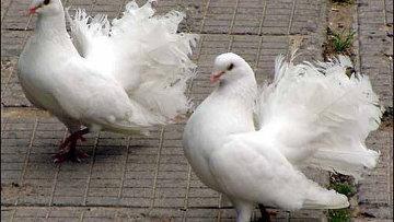 Житель Туркестана арестован по подозрению в убийстве земляка из-за редкой породы голубей