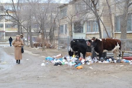 Актауские коровы