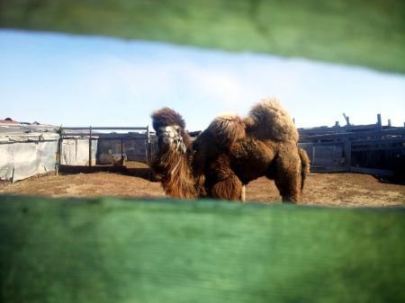 В поселке Умирзак верблюд насмерть затоптал пенсионерку