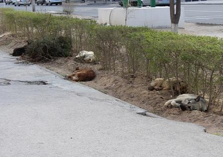 В Актау вновь гуляют стаи собак.