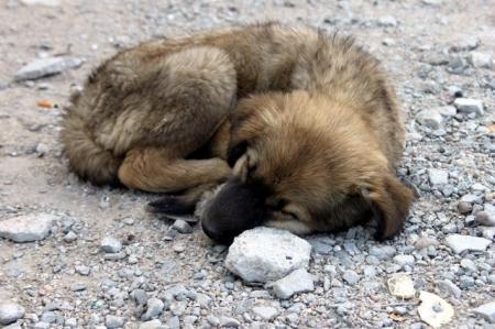 В Актау под отстрел попали не только бродячие, но и «пристроенные» псы