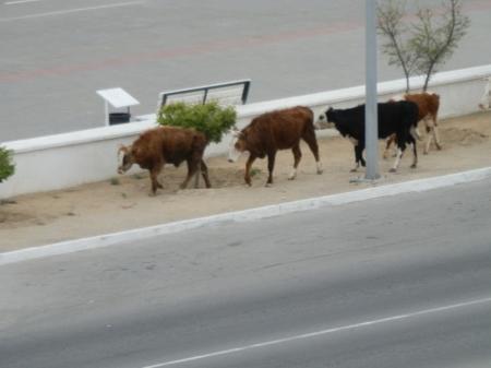 Коровы атакуют Актау