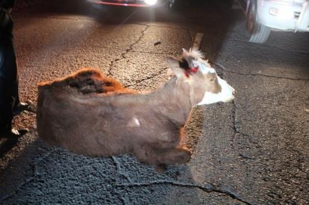 В Актау теленок попал под колеса автомобиля