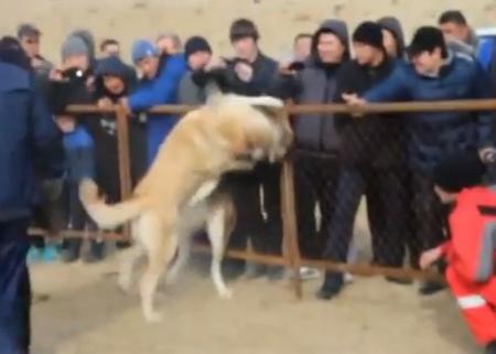 В сети появились видео собачьих боев, проводимых в Мангистауской области