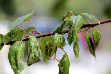 В Актау с 10 мая 2013 года в ночное время будет производится обработка зеленных насаждений