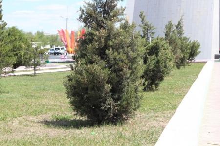 Жители Актау жалуются: в сквере возле Вечного огня засыхают деревья