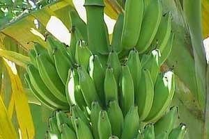 Первый урожай бананов собрали в Петропавловском ботаническом саду