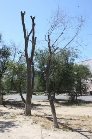 В Актау продолжают засыхать деревья (Фотопост)