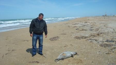 Экологи призывают расследовать гибель тюленей