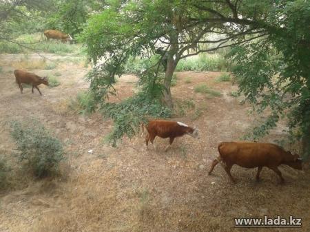 Нурбиби Тулиева: Наши специалисты вынуждены дежурить круглые сутки, чтобы отгонять домашний скот от зеленых насаждений