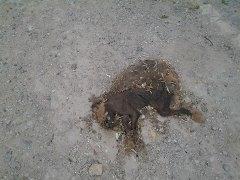В первом микрорайоне Актау в пяти метрах от детской площадки несколько дней лежит труп собаки