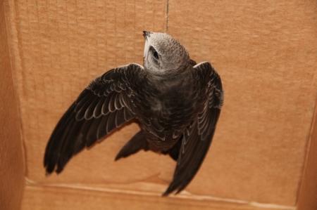 В Актау в окно жилой квартиры залетел птенец хищной птицы