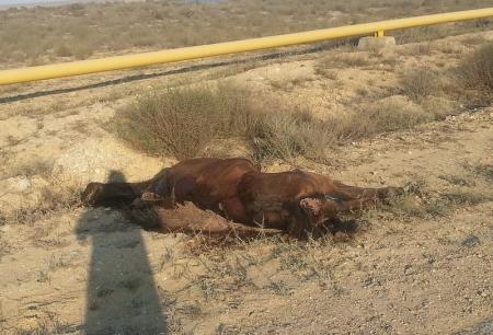 На автодороге в сторону МАЭК-Казатомпром уже четвертый день лежит  мертвая лошадь