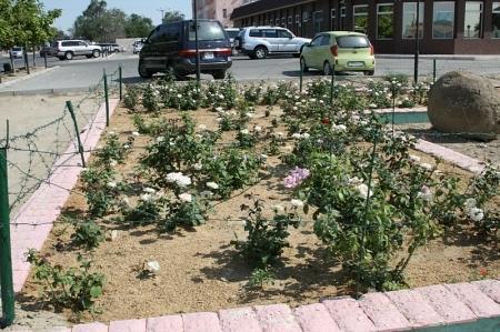 От бродячего скота в Актау растения не спасают даже шипы