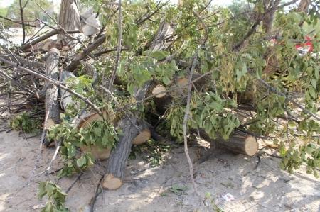 Жители шестого микрорайона Актау жалуются на то, что сотрудники ПКСК вырубили здоровое дерево