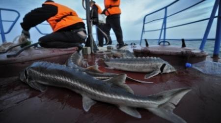 Мораторий на лов осетровых на Каспии предложила ввести Россия