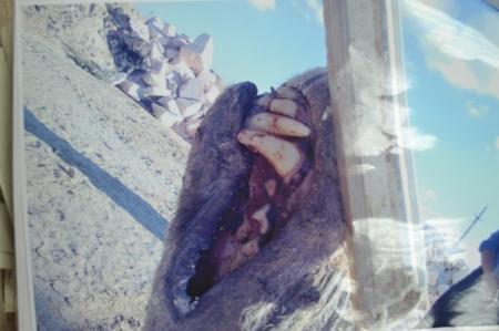 В Мангистау голодный волк напал на человека