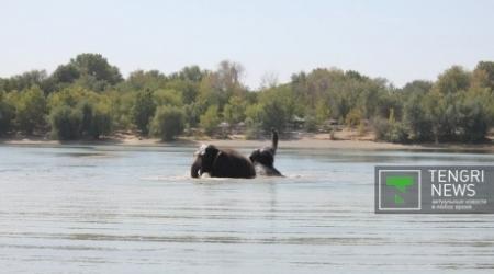 Для цирковых слонов устроили банный день в Шымкенте