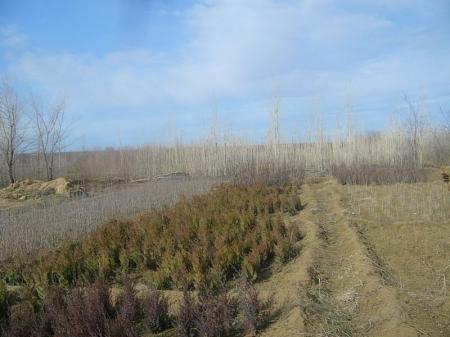 История озеленения Актау. Питомник в Карагие