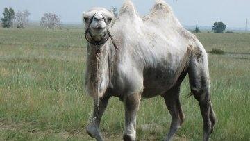 Первую в мире кругосветку на верблюдах готовят путешественники из Казахстана