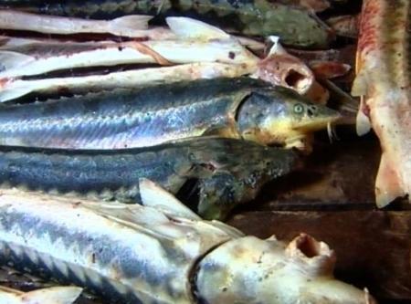Сотрудники прокуратуры Мангистауской области обнаружили в Каспийском море охановые сети с рыбой осетровых пород