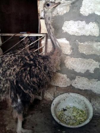 Мангистауские страусы выросли на метр