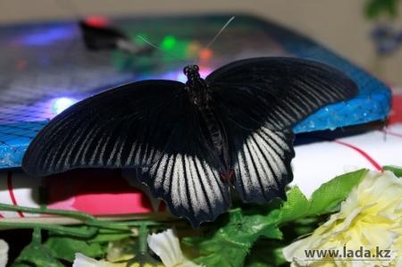 Жуткая смерть красивых бабочек на выставке в Актау