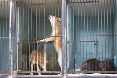 Жители Актау написали письмо Президенту, в котором утверждают, что в зоопарке диких животных кормят бродячими собаками
