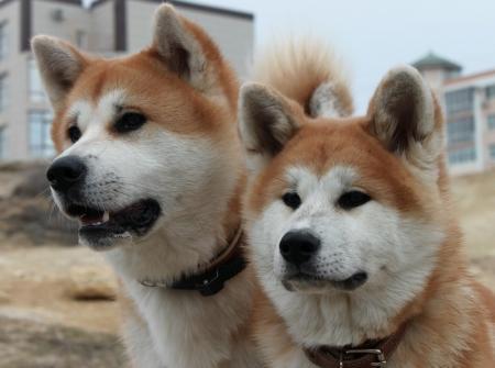 Акита–ину – собаки с самурайской выдержкой и удивительным характером