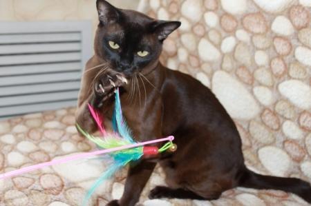 Бурманские кошки - кошки с поведением собаки