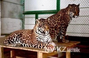 В карагандинском зоопарке больного медвежонка скормили ягуарам  на глазах у посетителей