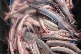 В Мангистау задержали жителя Форт-Шевченко с 50-тью килограммами рыбы осетровых пород