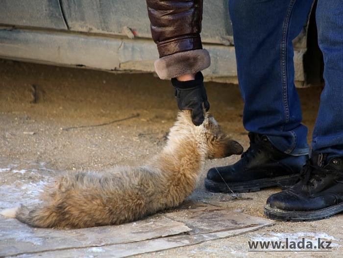 Собаки на свалке. Как усыпляют бродячих животных в Актау