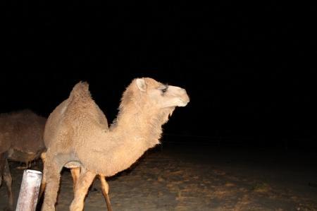 В Мангистау водитель сбил верблюда и зарезал его