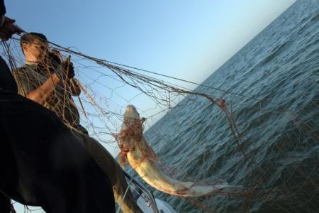 На Каспии нашли километры бесхозной сети с осетром