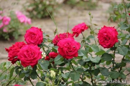 ТОО «Caspiy Operating»: В Актау к 1 мая начнется посадка цветников