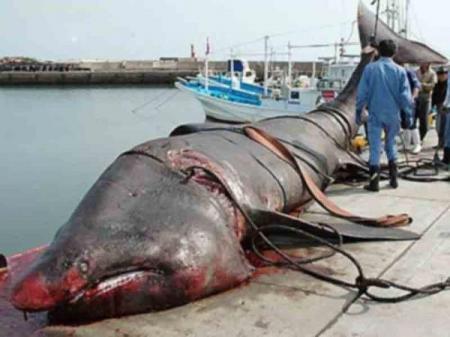 В США рыбак поймал на удочку 365-килограммовую акулу